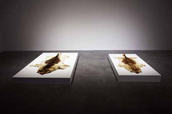 animal skins on pedestals in gallery